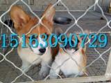 重庆哪里有卖柯基犬的重庆的柯基犬多少钱三个月的柯基犬怎么卖