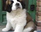 重庆高品质纯种(圣伯纳幼犬)出售 纯种血统包退换