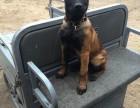 精品血统马犬出售 马犬图片 马犬幼崽价格