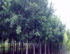 铜州15鹤岗樱花树种植基地在哪