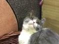 贵阳实体店英国短毛蓝白猫 弟弟妹妹都有 支持上门看猫