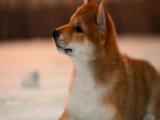 里有卖柴犬的 柴犬的价格样 柴犬一般钱
