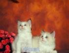 出售**布偶猫双色布偶猫幼猫海豹双色布偶猫