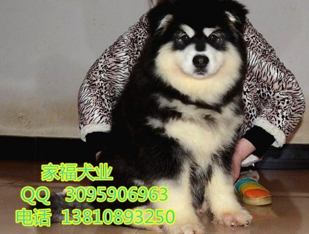 纯种阿拉斯加 巨型阿拉斯加 红色阿拉斯加 北京家福犬业直销