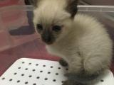 暹罗幼猫500出售