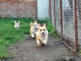 短腿威尔士柯基犬幼犬 公母可选 东莞买柯基犬必选 高品质