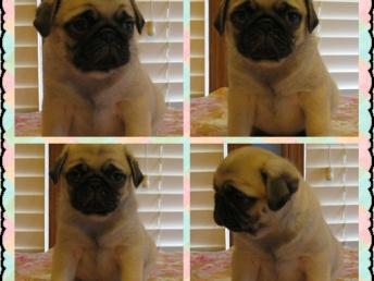 本地养殖场出售小型犬 博美 泰迪 比熊 吉娃娃 巴哥犬包纯种