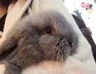 纯种纯灰色垂耳兔8个月妹妹领养