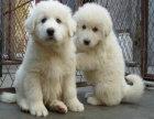 大白熊宝宝 随时看狗 多窝选择 疫苗齐全