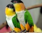 转让自家繁殖的凯克幼鸟 手养亲人