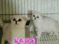 家养出售英短蓝白蓝猫 折耳 暹罗猫 金吉拉加菲猫