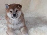 出售 柴犬幼犬 纯种日系柴犬 黑赤色大骨骼 白嘴巴柴犬