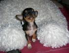 精品吉娃娃犬 高端赛级大毛量 双血 包活 带证