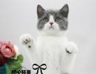 英短银渐层 纯种英短蓝白宝宝 纯种 幼猫英短蓝白幼