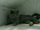 家养英短蓝猫墟沟地区