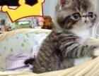 加菲猫 宠物猫 棕虎斑加白MM