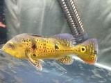 观赏鱼 300元