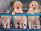 黄冈哪有金毛犬卖 黄冈金毛犬价格 黄冈金毛犬多少钱