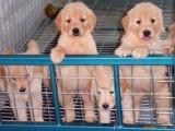 余杭哪有金毛犬卖 余杭金毛犬价格 余杭金毛犬多少钱
