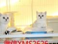 虎斑加白 美短加白 美国短毛猫 起司猫