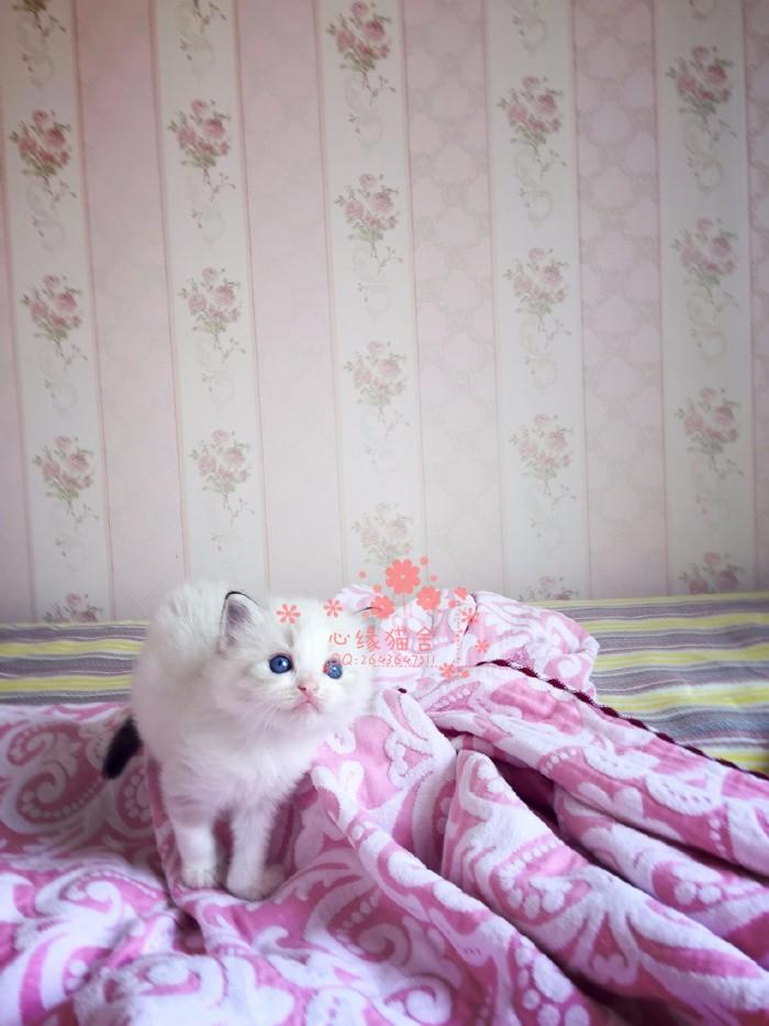 太原哪里有卖布偶猫的较便宜多少钱一只