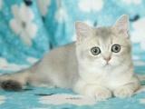 纯种短毛猫渐层 银渐层.金渐层 疫苗齐 健康包