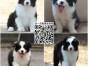 上海犬舍直销边牧幼犬 七白三通品相好 包健康包养活 签协议