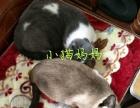 可爱的暹罗猫出售