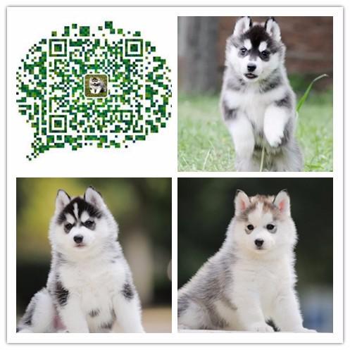 重庆出售纯种哈士奇犬 自家养殖的 当面测试交易 同城免费送狗