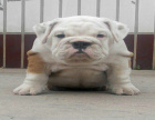 中国专业繁殖双血统英国斗牛犬犬舍 可以上门挑选