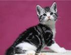 .美国短毛猫 自家繁殖虎斑猫幼崽活体 立耳虎斑猫宝