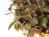 草之典金线莲种植加盟
