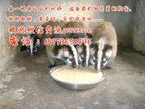 果子狸养殖与收购厂商湖南果子狸养殖场