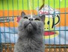 自家养殖的纯种蓝猫