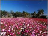 沧州波斯菊种子价格一亩地需要多少斤