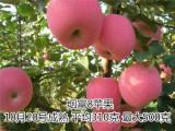 华硕苹果树苗哪里有