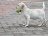 拉布拉多哪有卖的/宠物店狗市在哪里