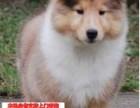 重庆松狮图片价格 松狮幼犬宠物狗养殖基地 松狮领养赠送