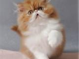 广东广州纯血净梵加菲猫放心购买