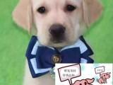 苏州纯种拉布拉多犬价格 苏州哪里能买到纯种拉布拉多犬
