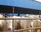 供应西门塔尔牛200-300斤小公牛,小母牛包运输