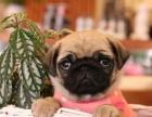 哪里有卖巴哥巴哥多少钱巴哥图片巴哥幼犬