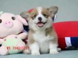 纯种柯基犬 三色双色均有 血统品质  可全国发货