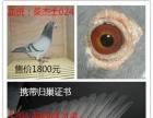 出售一对种鸽 原环鸽 特比环鸽 赛鸽 公棚成绩鸽 千公里鸽