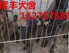 精品黑红马犬红马犬出售2-3个月