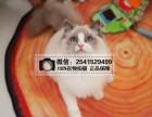 丽水哪里有卖山猫布偶 丽水布偶猫一只多少钱