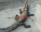 兰州活体鳄鱼肉多少钱斤呢