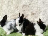 复活节用小白兔,各种宠物兔,长期出售。