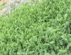 批发灌木种子 草坪种子 牧草种子