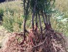 红豆杉基地直接批发红豆杉